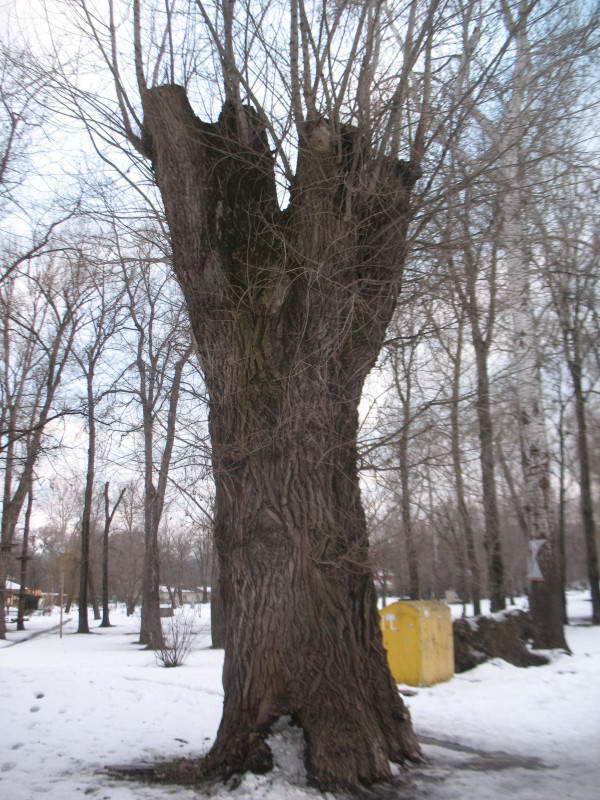 Old black poplar Populus nigra