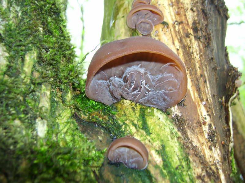 Jew's ear, wood ear, Auricularia…