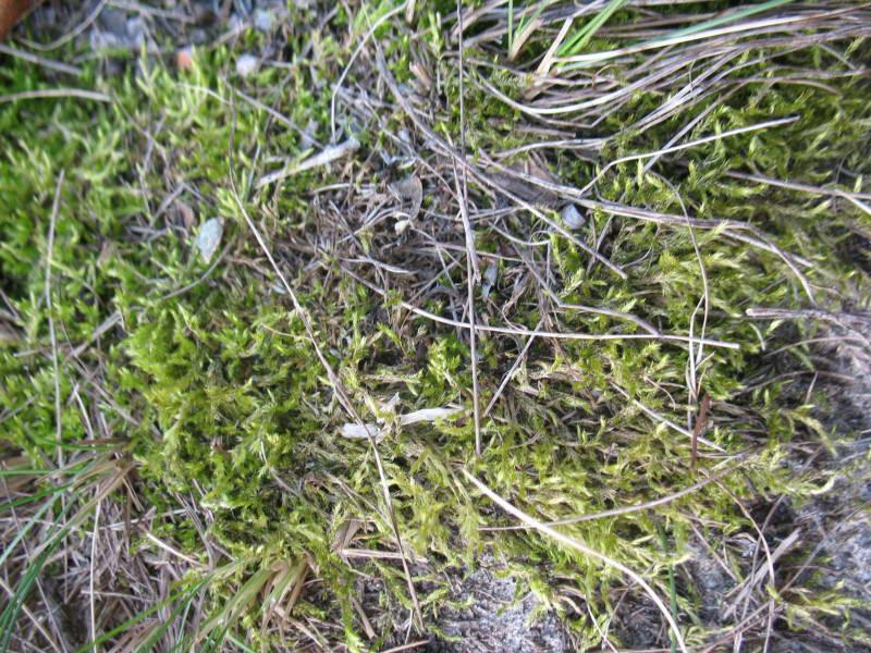 Moss, Brachythecium