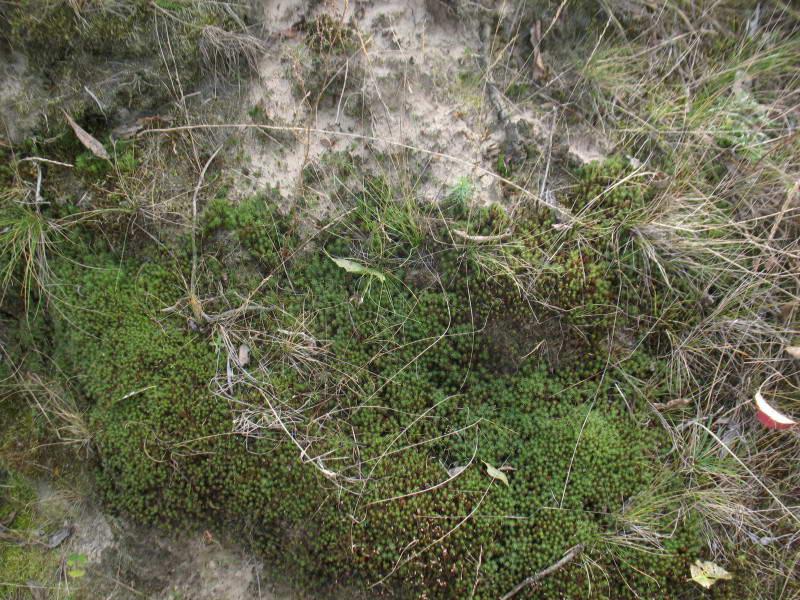 Зозулин льон волосистий, Polytrichum…
