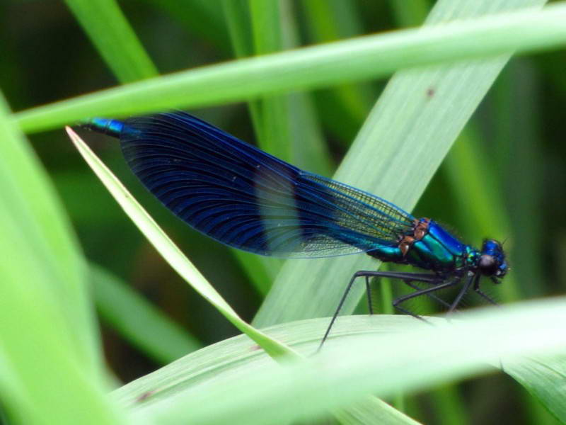 Красуня діва (Calyopterix virgo)