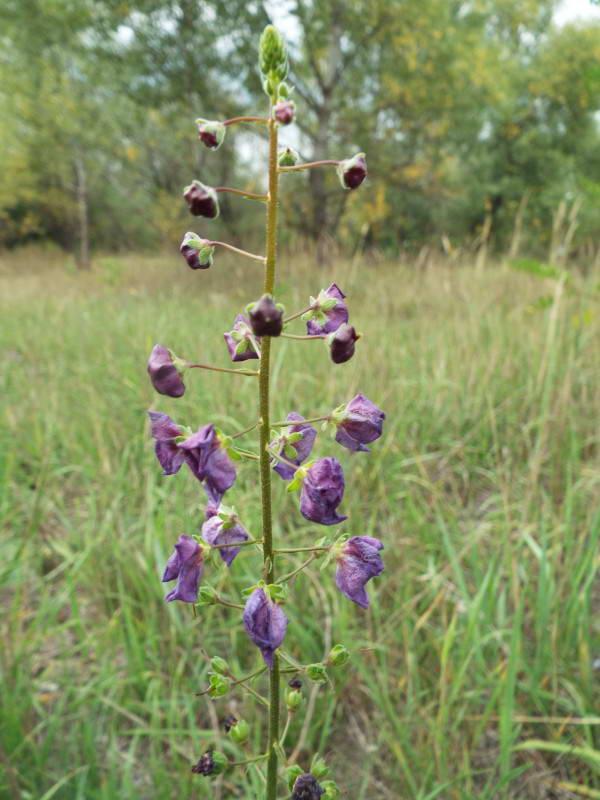 Дивина фіолетова (Verbascum phoeniceum)