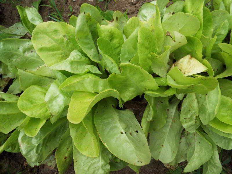 Салат листовий