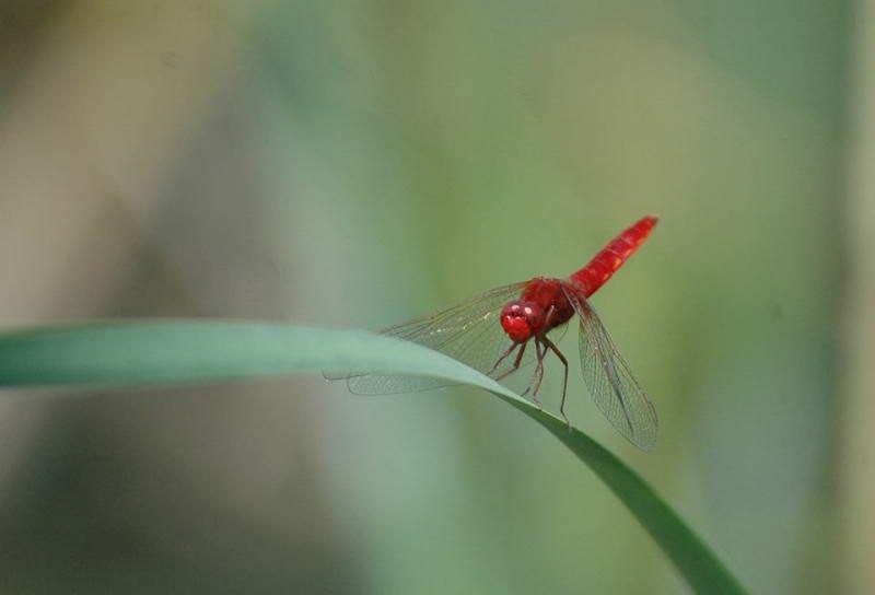Бабка кроваво-червона (Sympetrum…