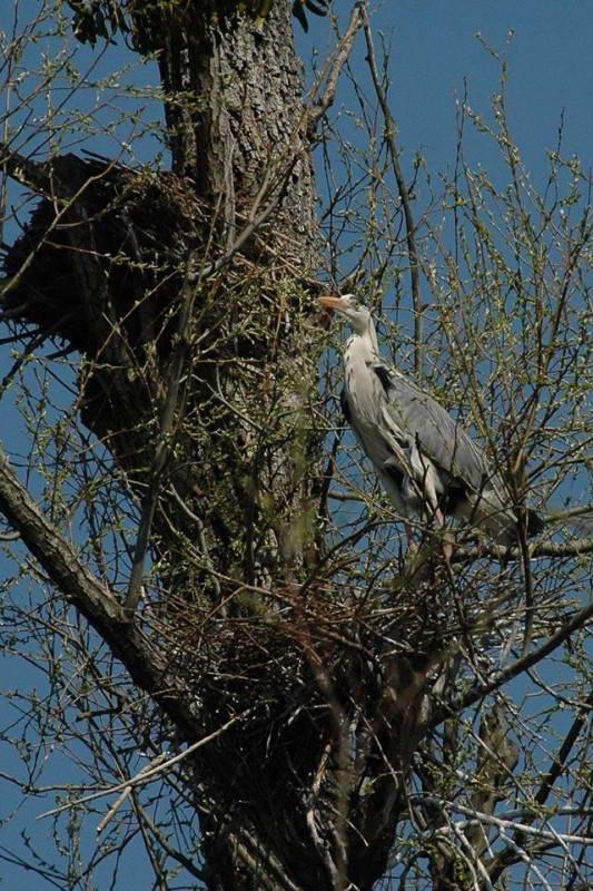 Сіра чапля (Ardea cinerea) на гнізді