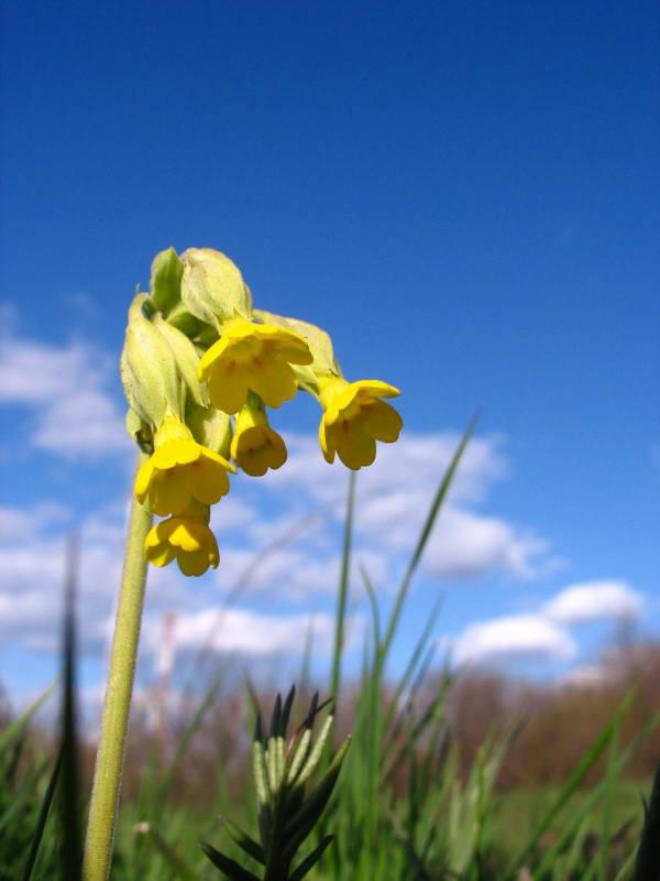 Первоцвет весенний (Primula veris)…