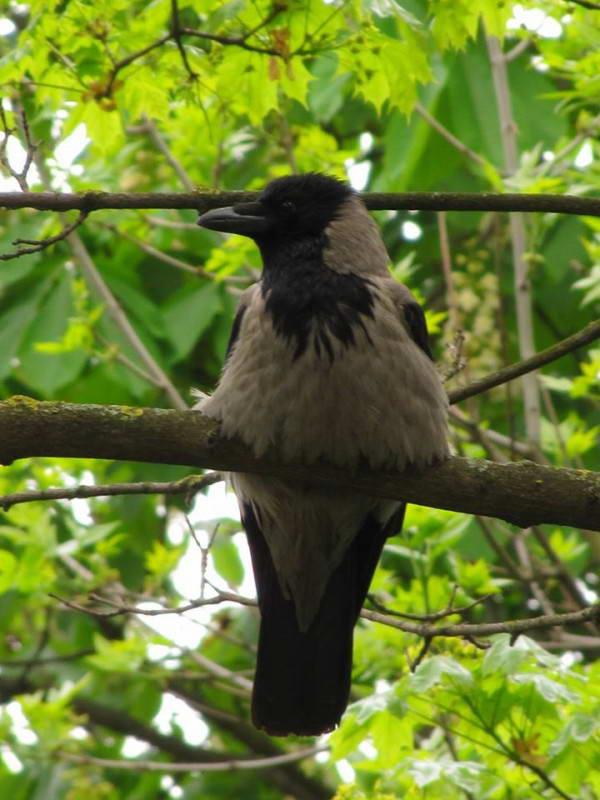 Ворона (гава) сіра (Corvus corone)