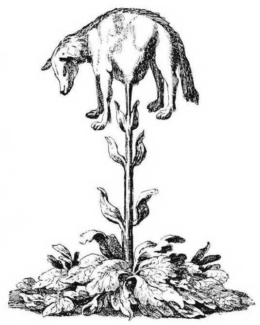 Зоофіт (тварина-рослина), під назвою «баранець-трава» чи «татарський овен». З гравюри ХVІІ ст.